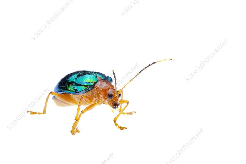 Chrysomelid beetle, Crocker Range, Borneo, Malaysia