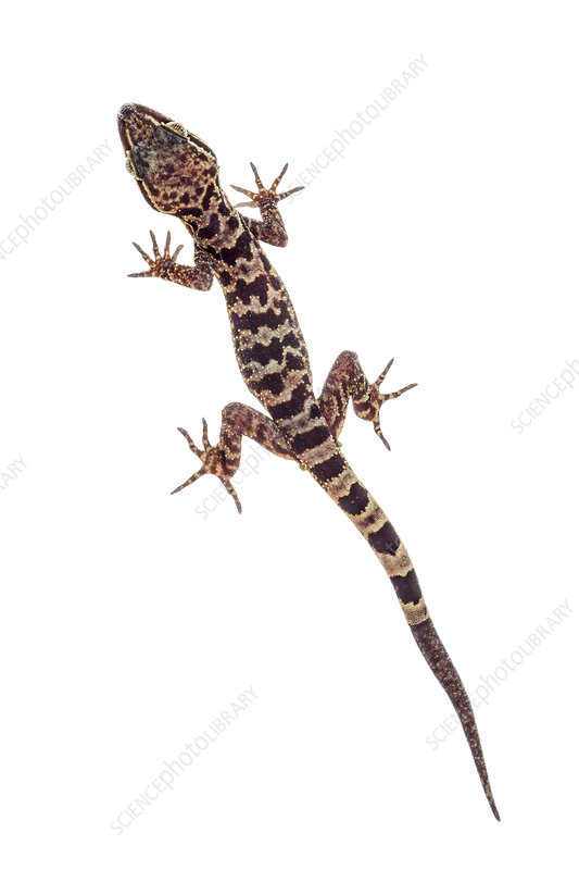 Gecko Mount Kinabalu, Borneo, Malaysia