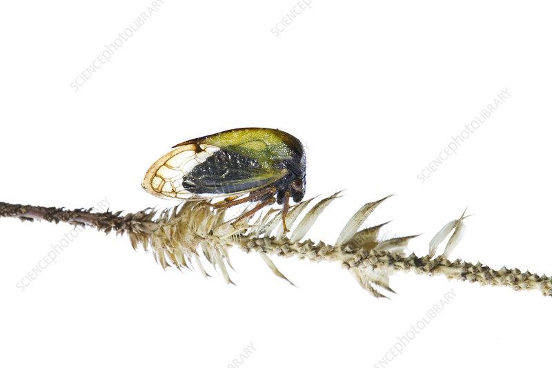 Buffalo treehopper, Colorado, USA