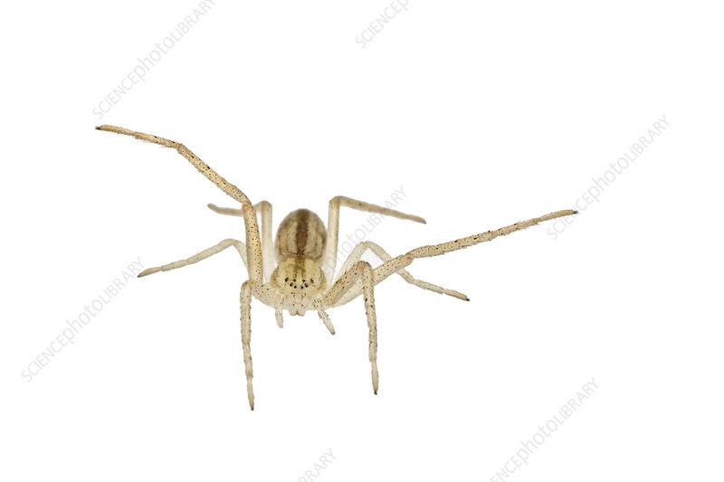 Slender crab spider, Colorado, USA