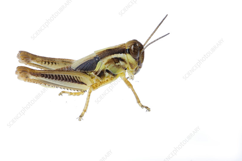 Male Red-legged grasshopper nymph, Colorado, USA