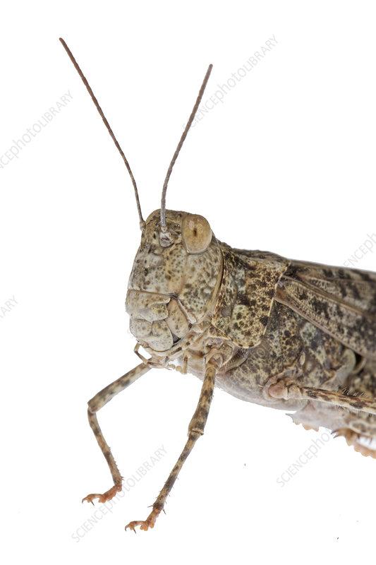 Bird grasshopper, Colorado, USA