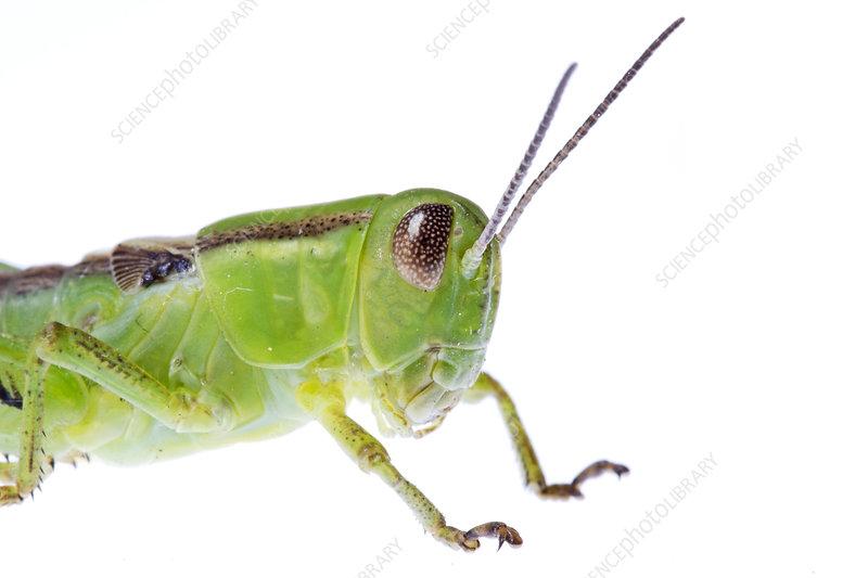 Grasshopper nymph, Colorado, USA