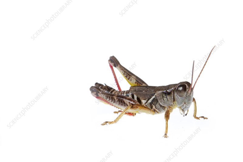 Grasshopper, Colorado, USA, August
