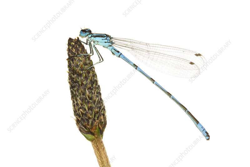 Male Azure damselfly on a seed head