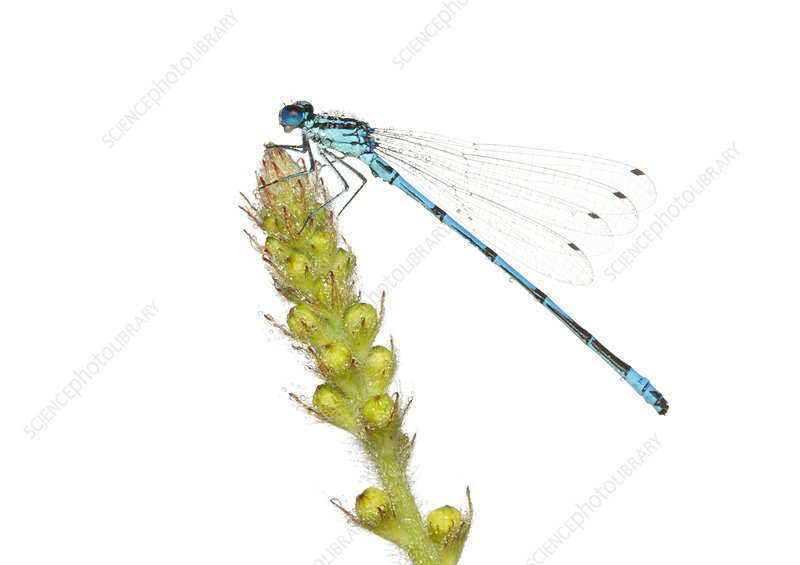 Male Azure damselfly covered in early morning dew