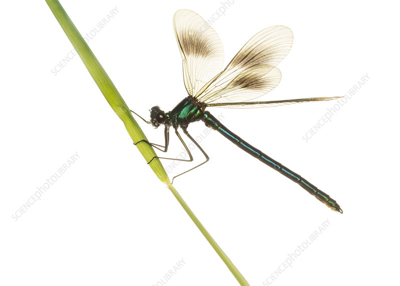 Male Banded demoiselle on a grass stalk