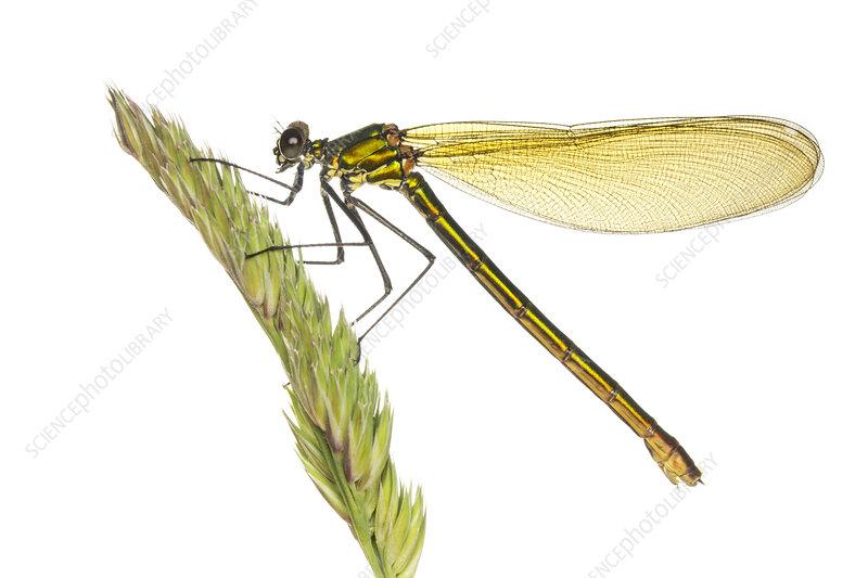 Female Banded demoiselle on a grass stalk