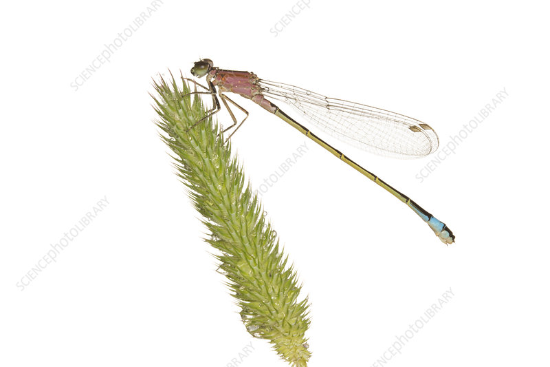 Female Blue-tailed damselfly on a grass head