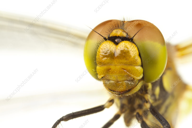 Head and compound eyes of a female Common darter