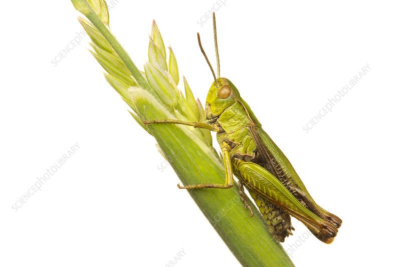 Common green grasshopper on a grass stem,