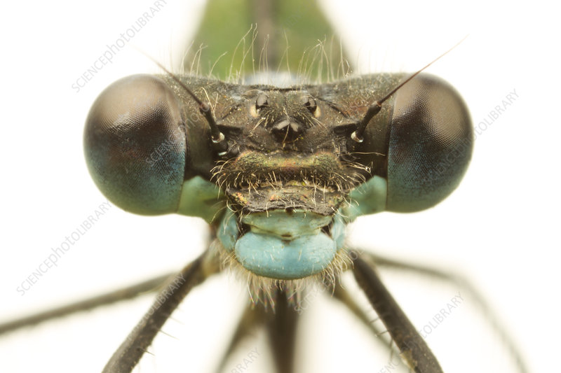 Close-up of the head of a female Emerald damselfly