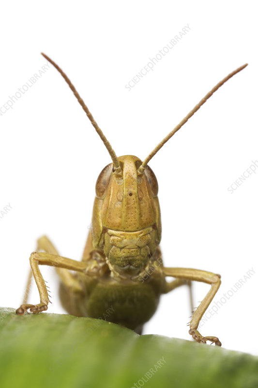 Close-up portrait of a Lesser marsh grasshopper