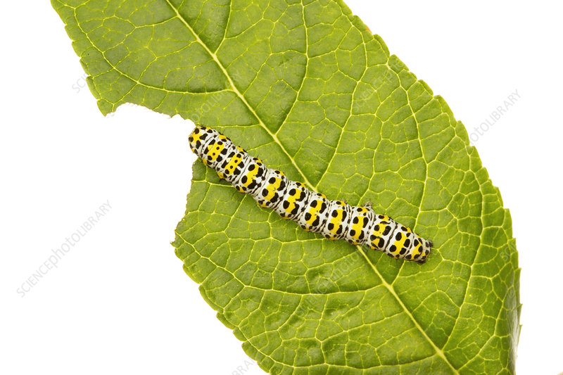 Mullein moth caterpillar feeding on a Buddleia leaf
