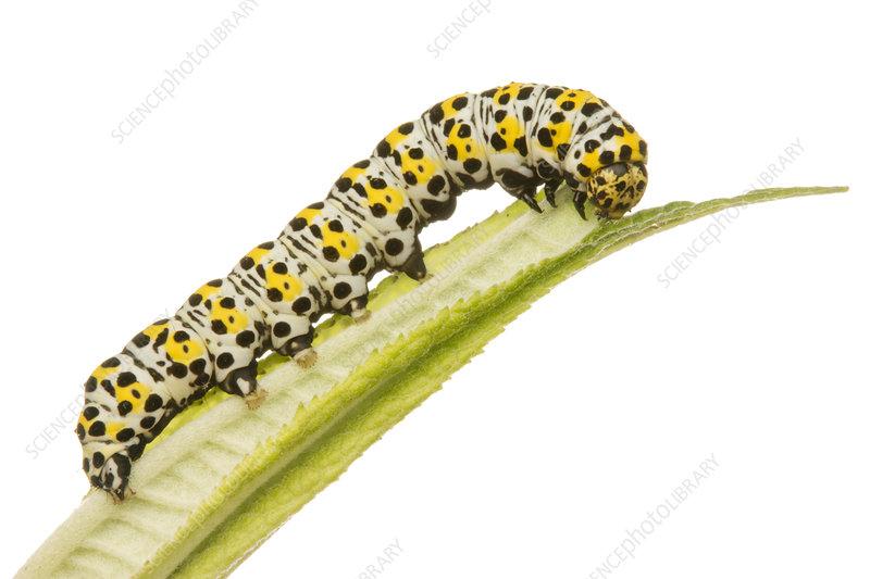 Mullein moth caterpillar feeding on a Buddleia leaf