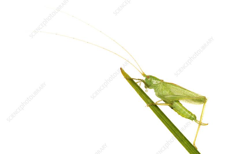 Oak Bush Cricket, Leicestershire, UK