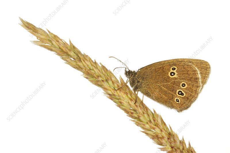 Ringlet butterfly on a grass stem