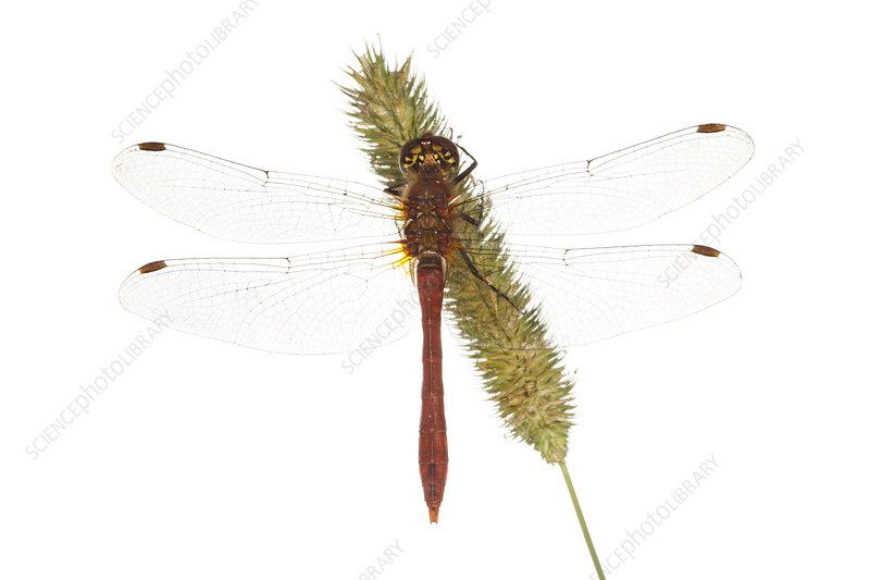 Male Ruddy darter dragonfly on a seed head