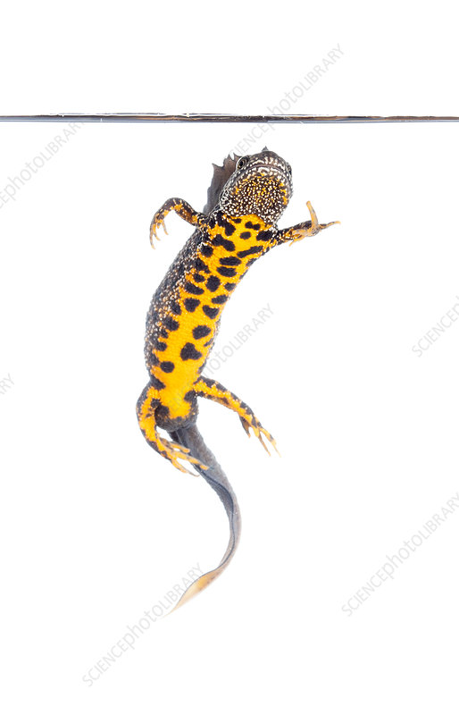 Great crested newt male, Picardie, France