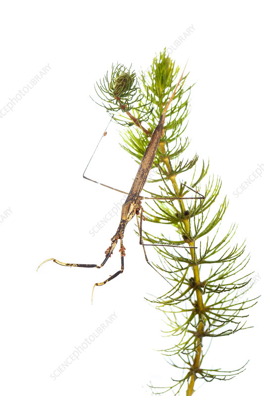 Water stick insect, Picardie, France