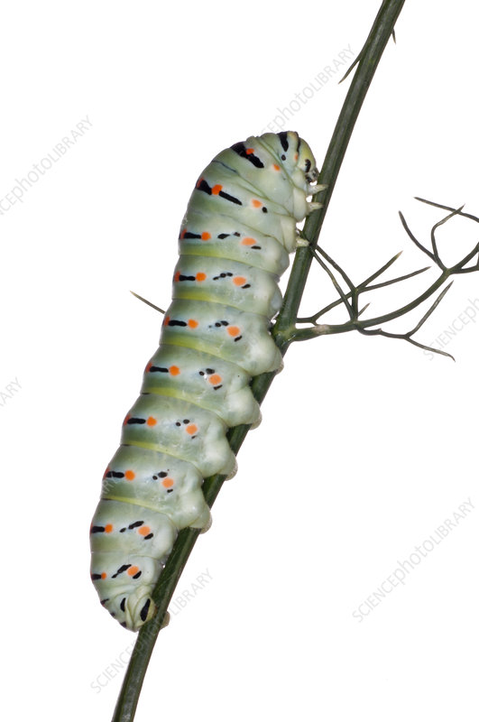 Larva of Common Swallowtail almost full-grown pre-pupation