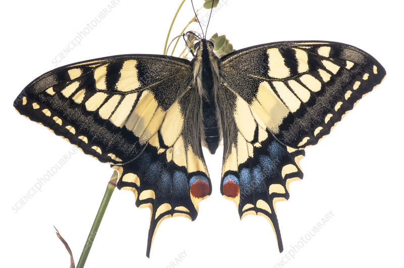 Common Swallowtail in garden, Orvieto, Italy