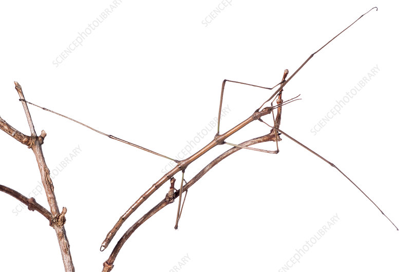 Spanish Stick Insect on vine stem, Orvieto, Italy