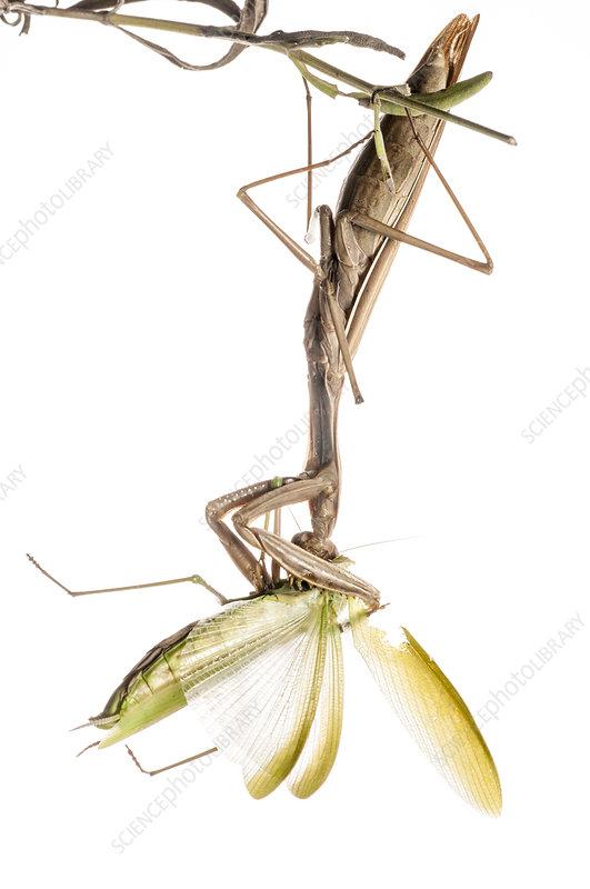 Praying Mantis female eating another female