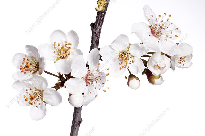 Wild Cherry (Prunus avium) in flower