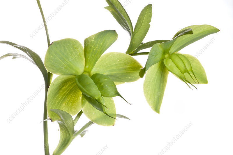 Green Hellebore (Helleborus viridis) in flower