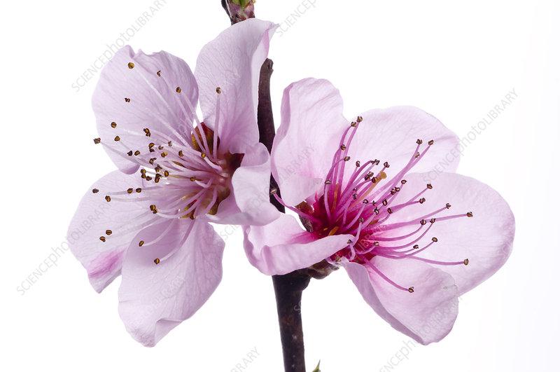 Peach blossom (Prunus persica)