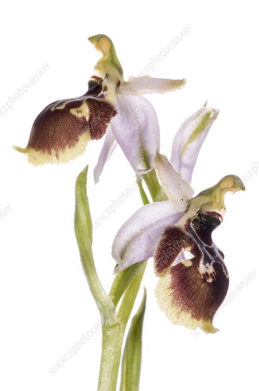 Tyrhennian Ophrys (Ophrys tyrrhena) in flower on hillside
