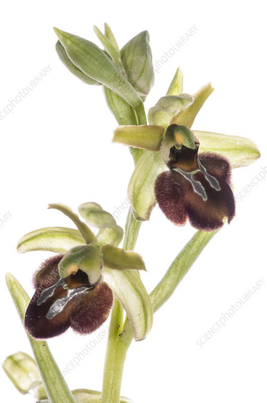 Early spider orchid (Ophrys sphegodes) in flower