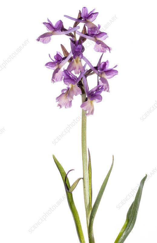 Roman Orchid (Dactylorhiza romana) in flower