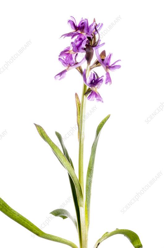 Roman Orchid (Dactylorhiza romana) purple form