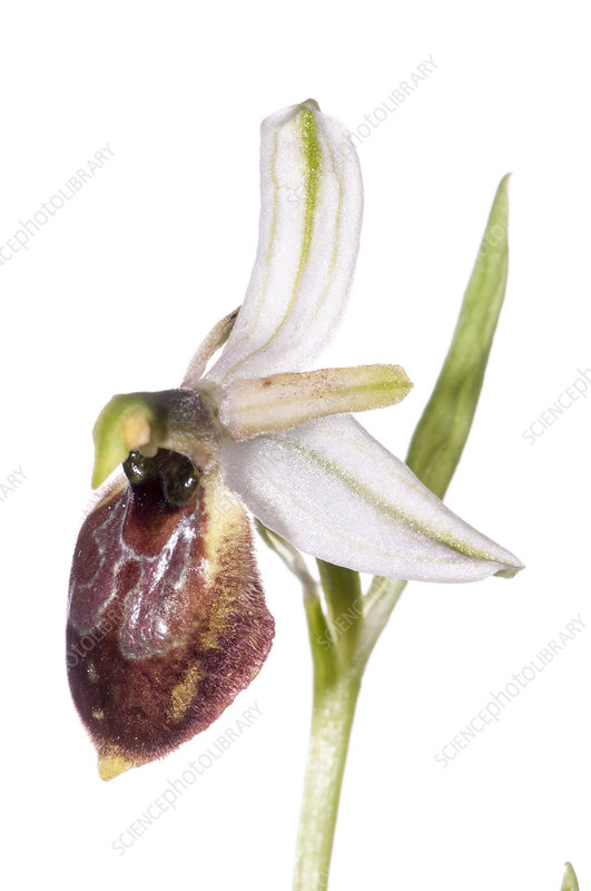 Archipelago Orchid (Ophrys archipelagi)