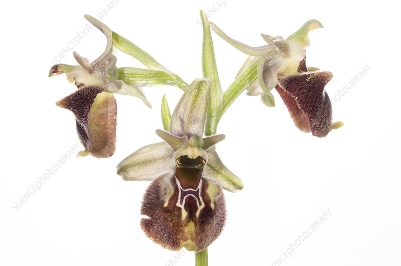 Small-patterned Ophrys (Ophrys fuciflora sp. parvimaculata)