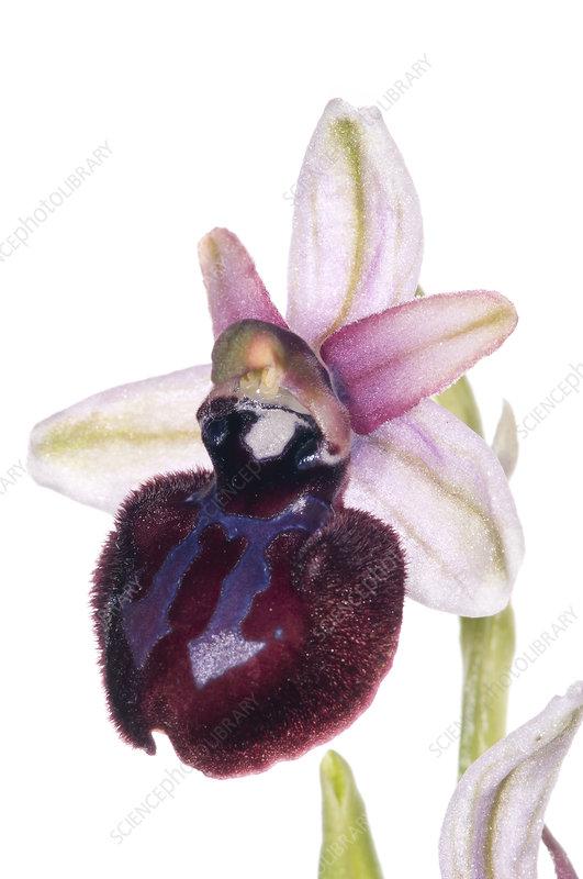 Siponto Ophrys (Ophrys sipontensis)