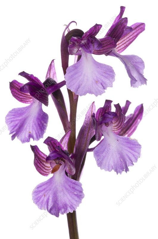 Hybrid orchid (Anacamptis x gennarii)