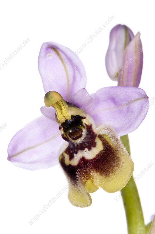 Late Ophrys (Ophrys tardans)