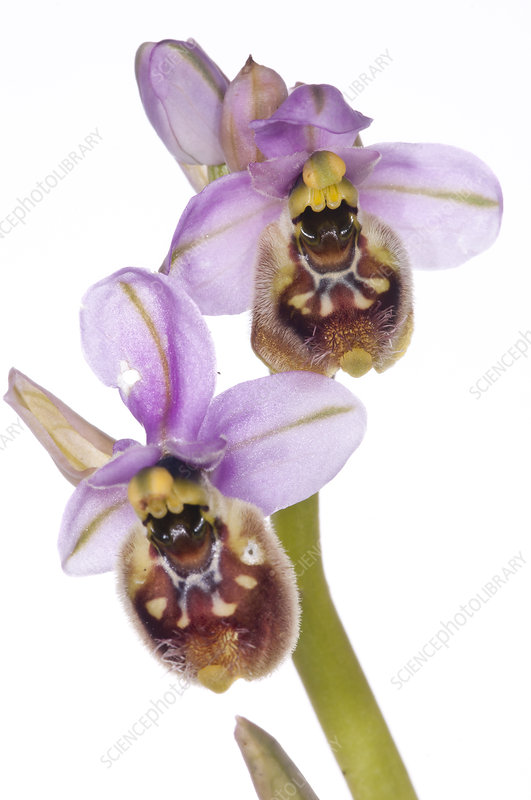 Orchid (Ophrys neglecta) in flower