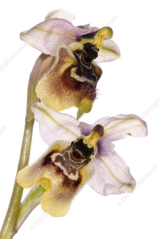 Sawfly Ophrys (Ophrys tenthredinifera) in flower