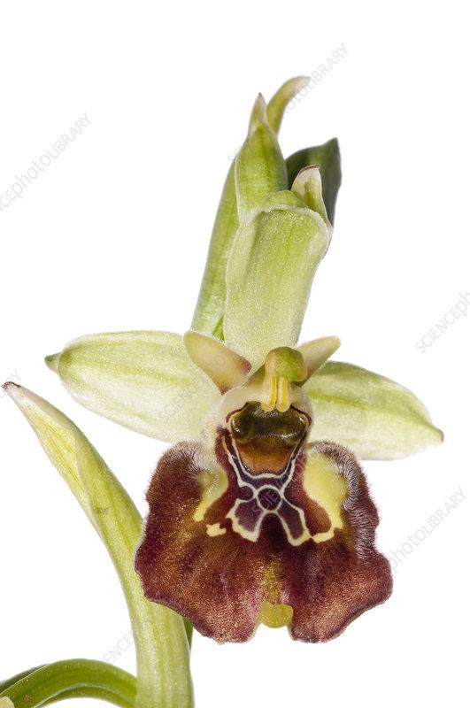 Ceglie Orchid (Ophrys celiensis) in flower