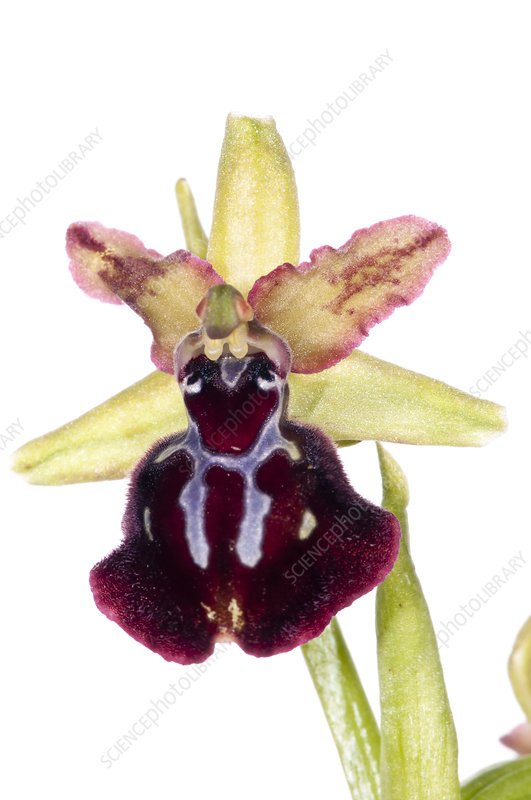 Orchid (Ophrys passionis)
