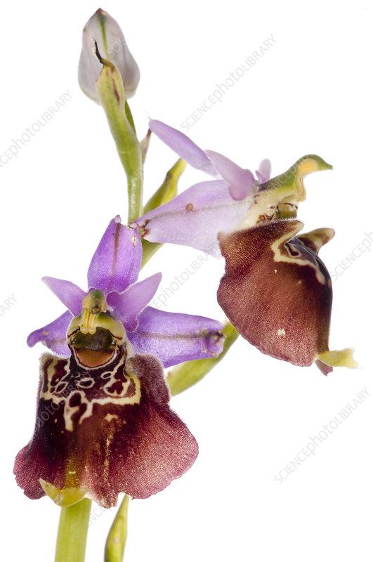 Apulian Ophrys (Ophrys fuciflora sp. apulica) in flower