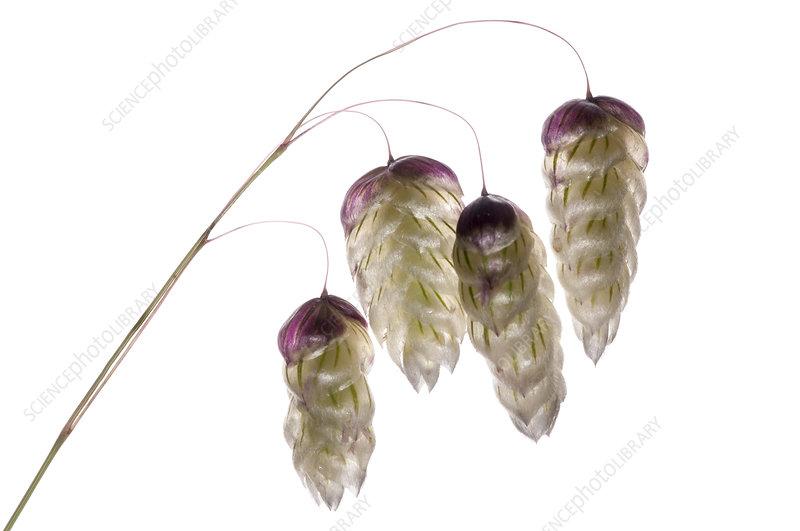 Large Quaking Grass (Briza maxima)