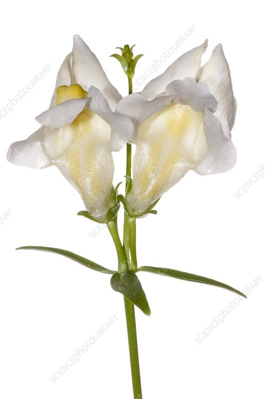 Sicilian Snapdragon (Antirrhinum siculum) in flower