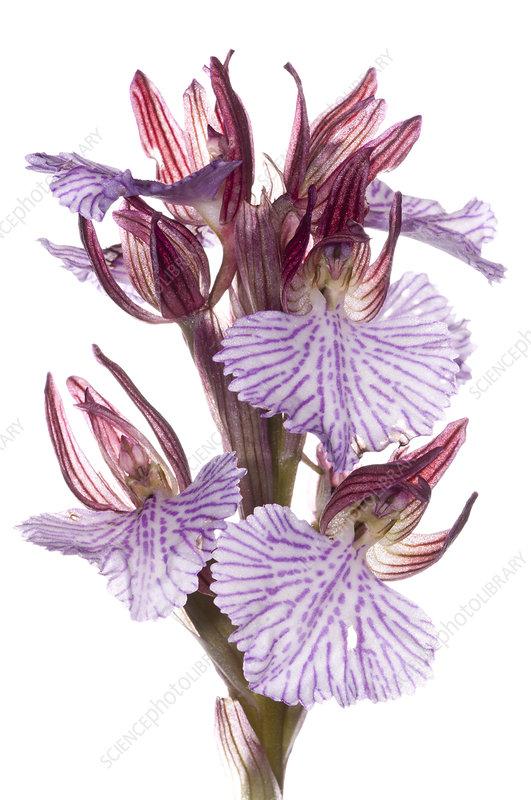 Butterfly Orchis (Anacamptis papilionacea var grandiflora)
