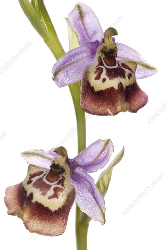 Callantha's Orchid (Ophrys oxyrrynchos sp calliantha)