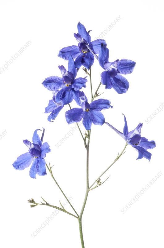 Forking Larkspur (Consolida regalis) in flower